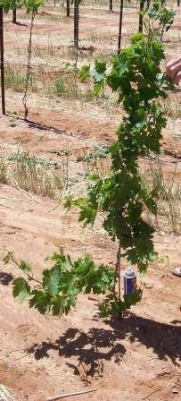 Pruning and Training in the Vineyard