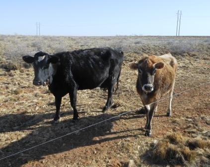 Cows-Buttercup-and-Emmi.jpg