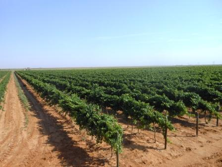 Vineyard – June 2012