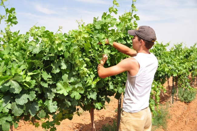 Tucking Grapevines – Canopy Management