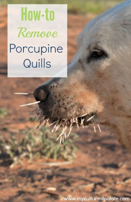 Dogs and Porcupines Quills
