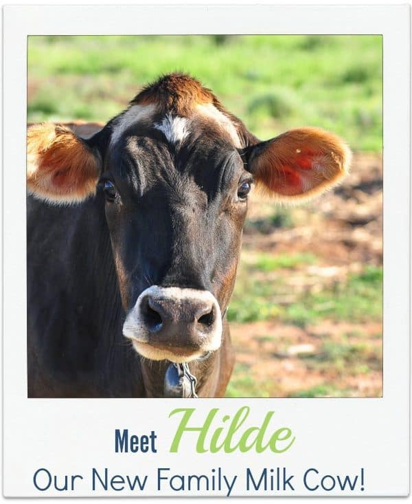 Hilde-our-new-Jersey-milk-cow1.jpg