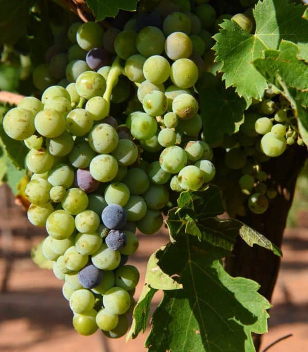 Veraison and Cluster Counts = Ripening Grapes!
