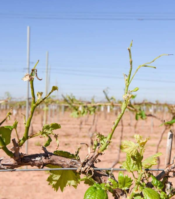 Hail Damage in the Vineyard