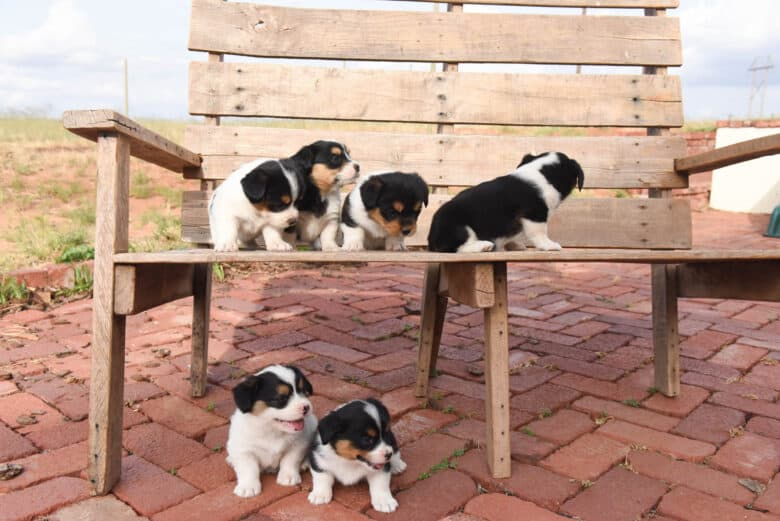 Six corgipoo puppies playing on a bench.