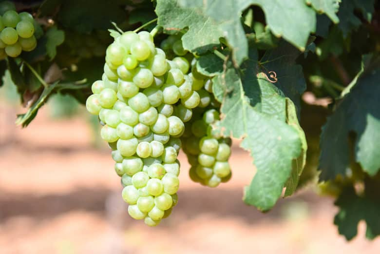 Bunch Rot in the Vineyard