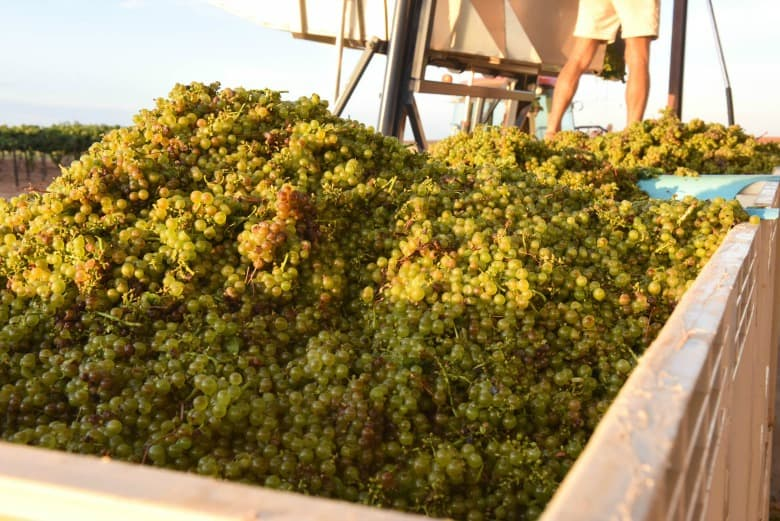 Oswald Vineyard Roussanne Harvest - Grapes in Bins