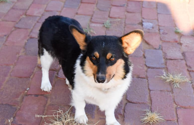 Corgipoo Puppies - They Will Melt Your Heart - Oswald Vineyard