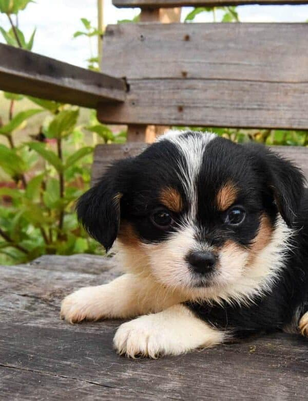 Tricolored corgipoo puppy from fall litter