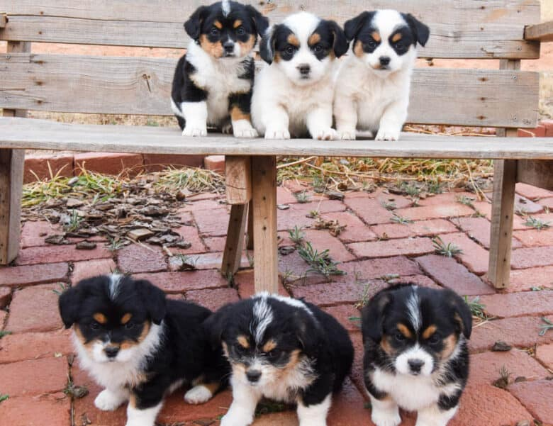 Corgipoo puppies on a bench - three on top and three on bottom.