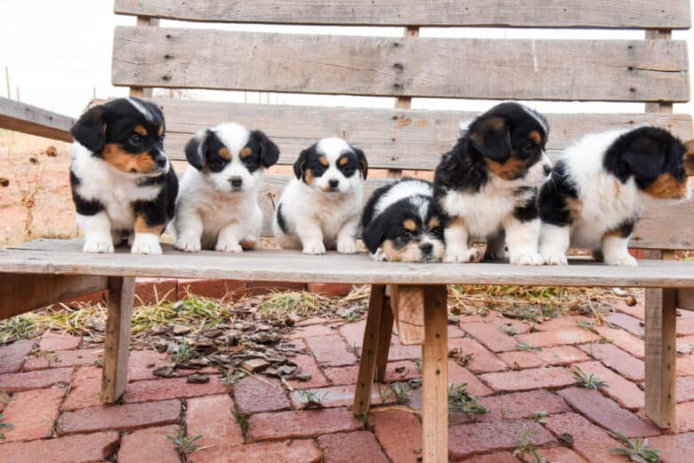 Six Corgipoo puppies on a wooden bench looking to the right.