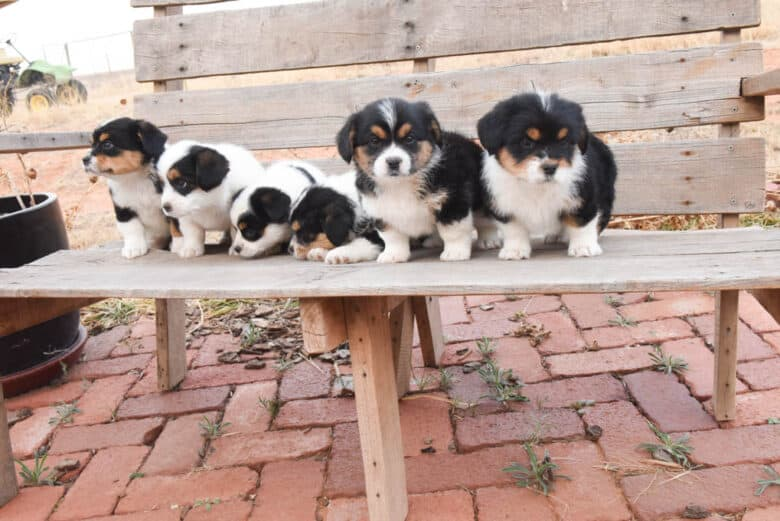 Six corgipoos looking in different places on a brick patio.