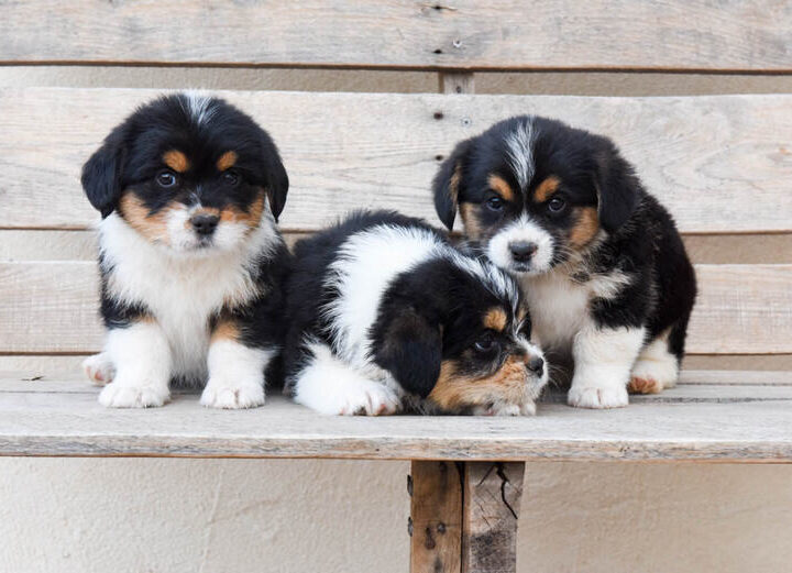 Three female corgipoo puppies on a wooden bench.