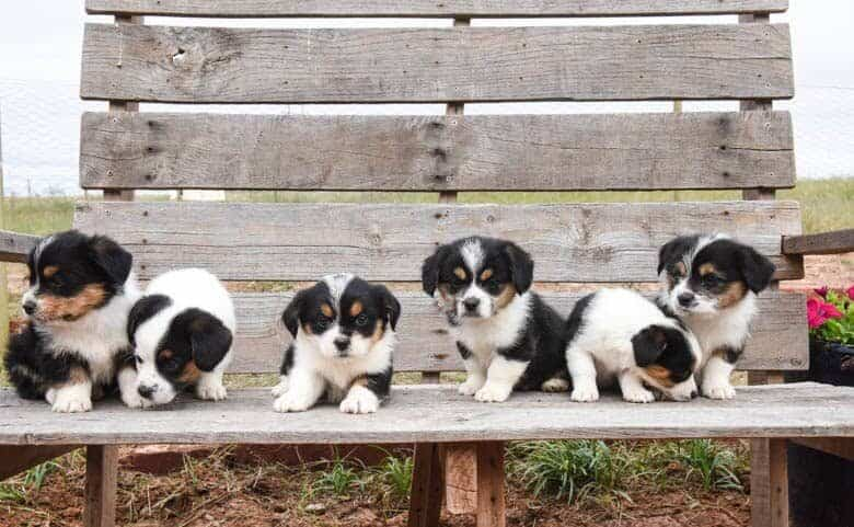 Litter from fall corgipoos all on a bench.