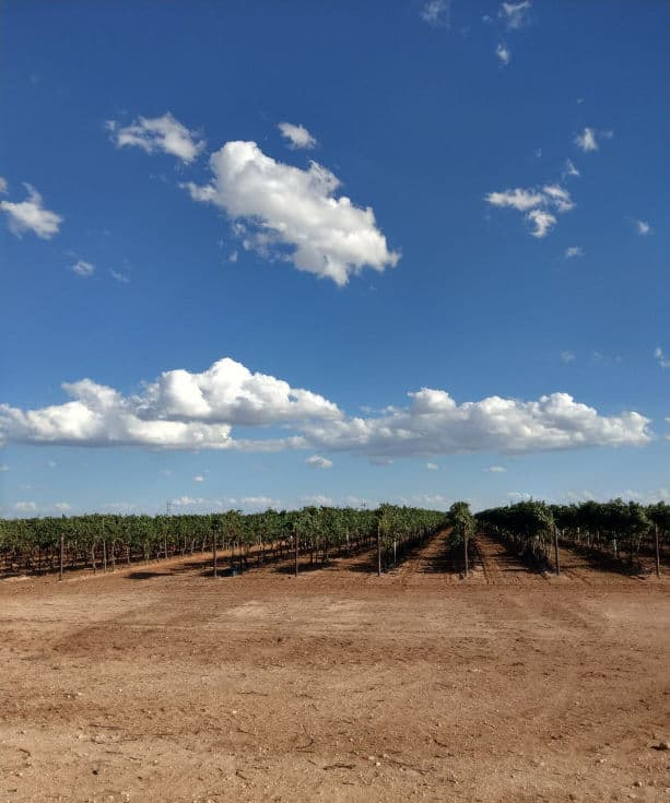 A look at the vineyard and the blue sky.