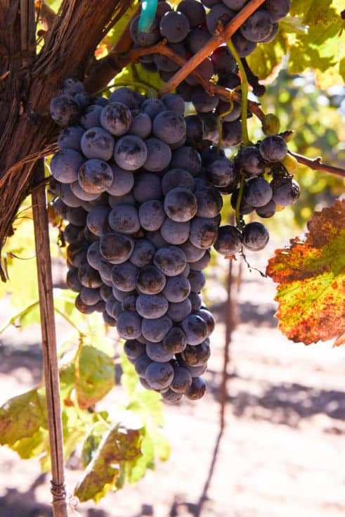 Montepulciano grapes on the vine