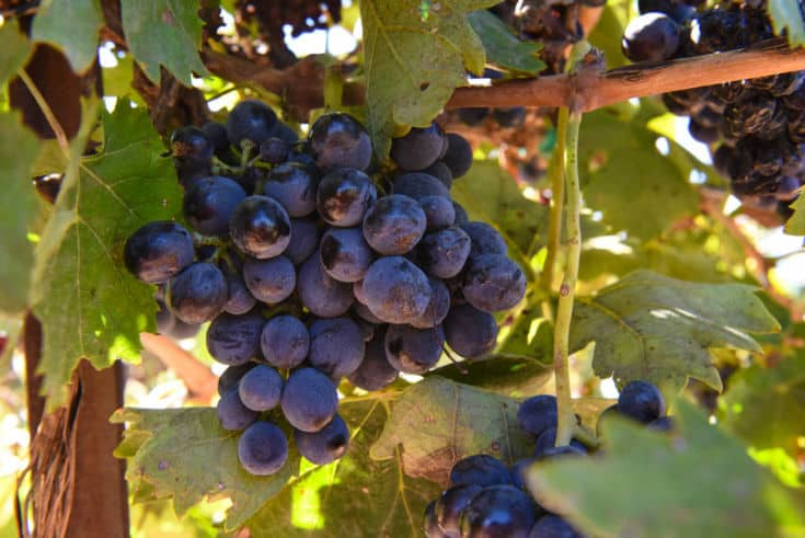 Little cluster of Montepulciano grapes hanging on the vine with other clusters.