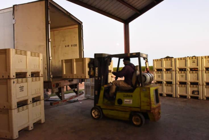 Montepulciano and Aglianico Harvest 2019 - Fork truck loading the semi with bins.