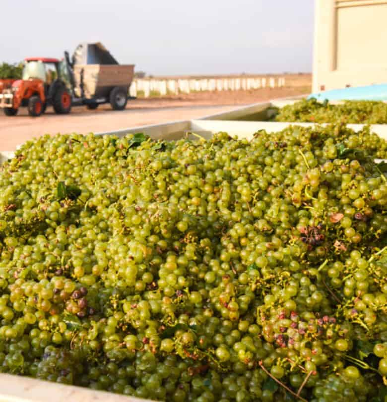 Roussanne Harvest 2020 grapes in bins.