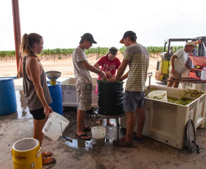 Pressing the crushed grapes into the press.