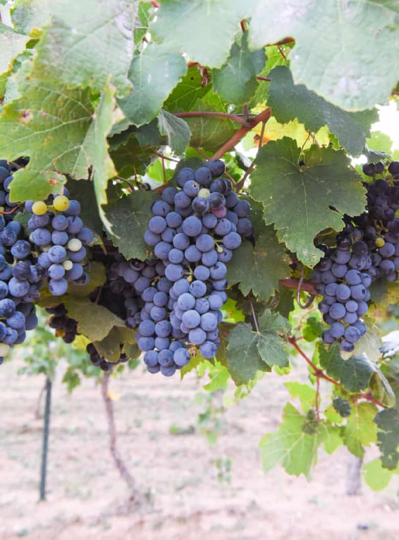 Montepulciano grapes hanging on the vine