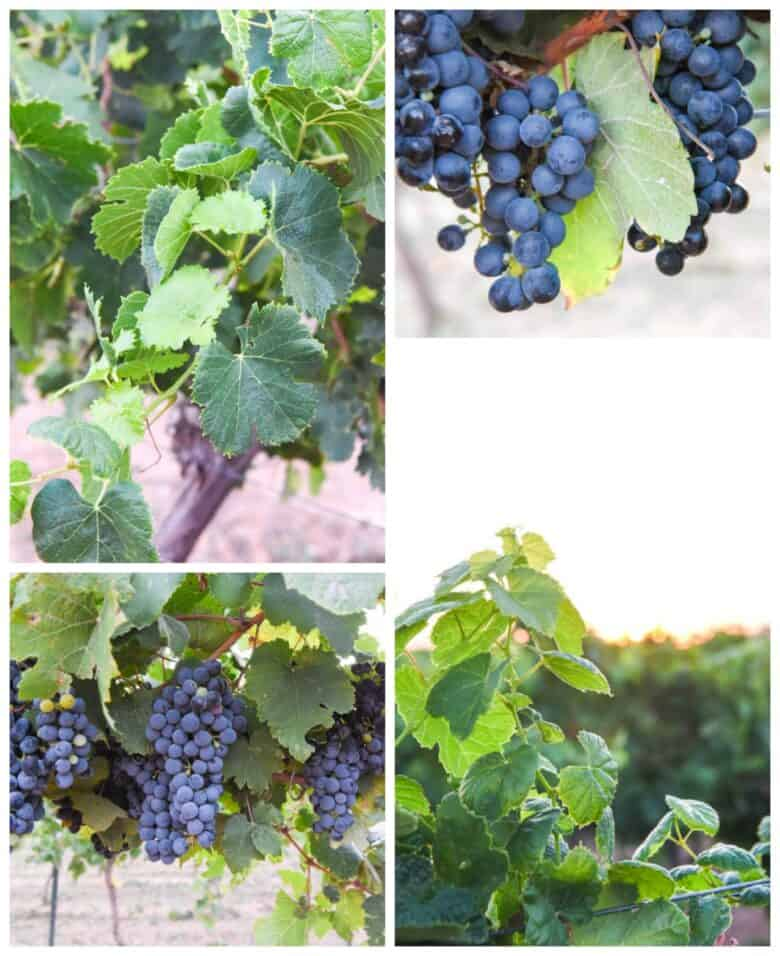 Montepulciano Harvest 2020 - Collage of pictures, Montepulciano grapes and vines