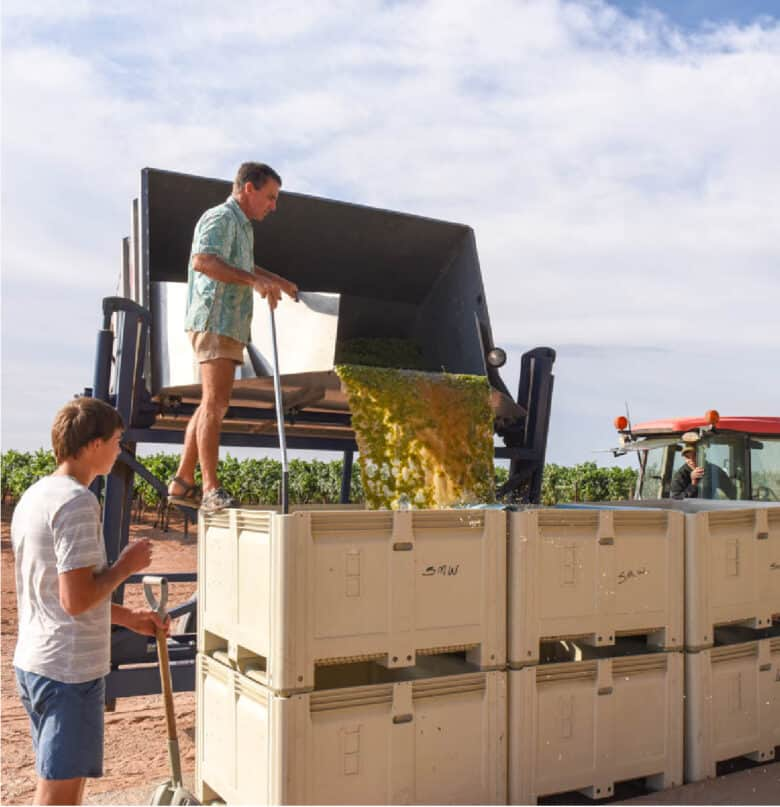 Albarino Harvest 2020 - Dumping the grapes into the bins at the barn.