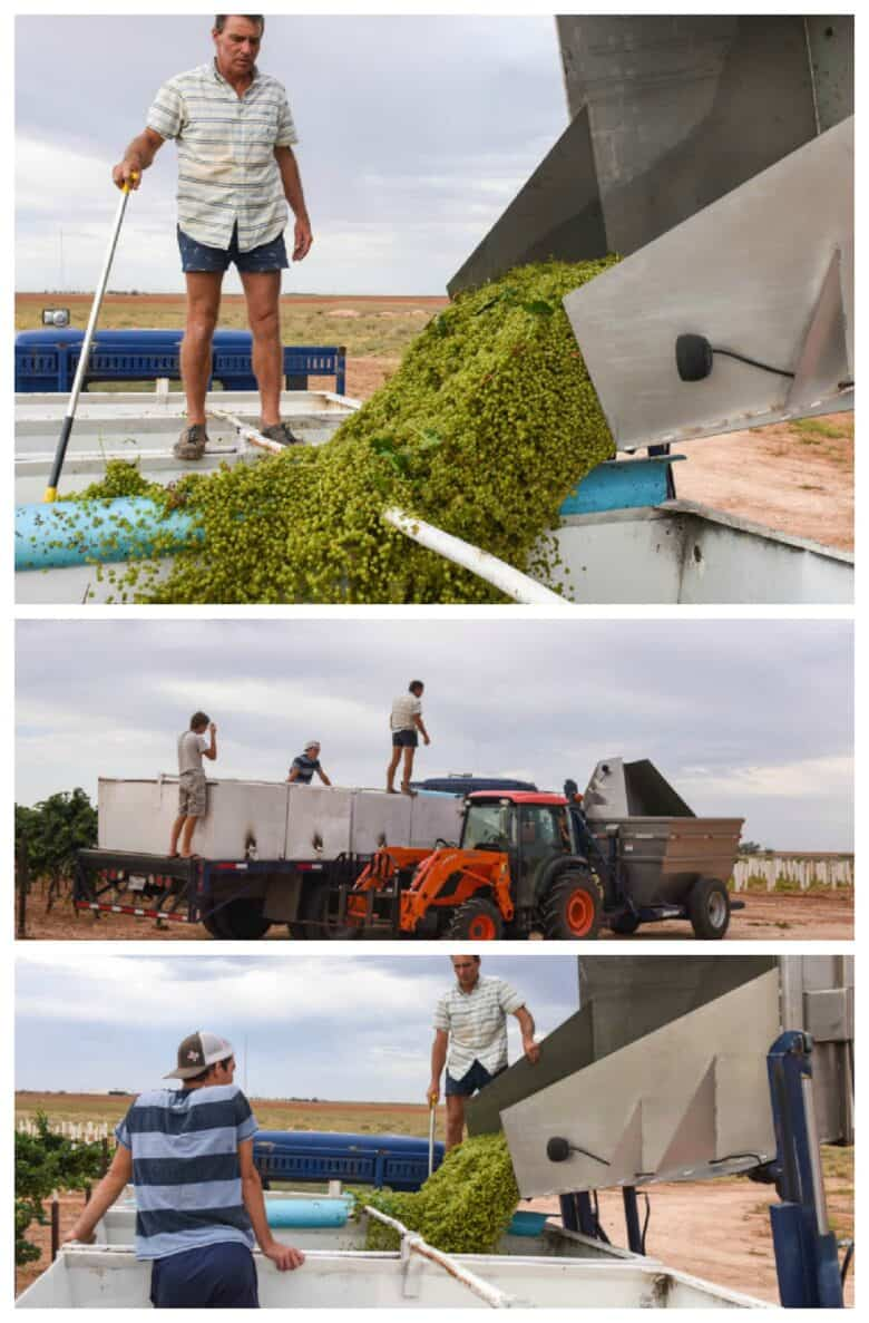 Roussanne Harvest 2020 - Collage of pictures including the dump buggy dumping into valley bins.