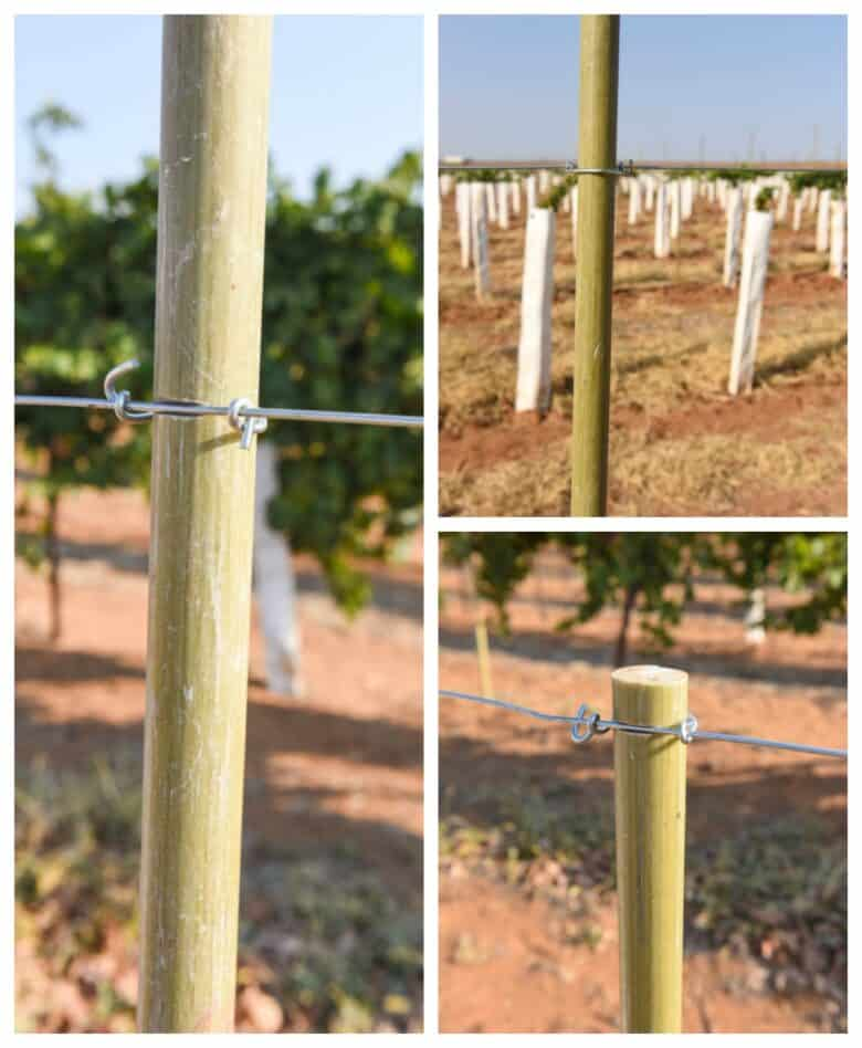 Vermentino Trellis - Collage of cordon clipped onto the posts.