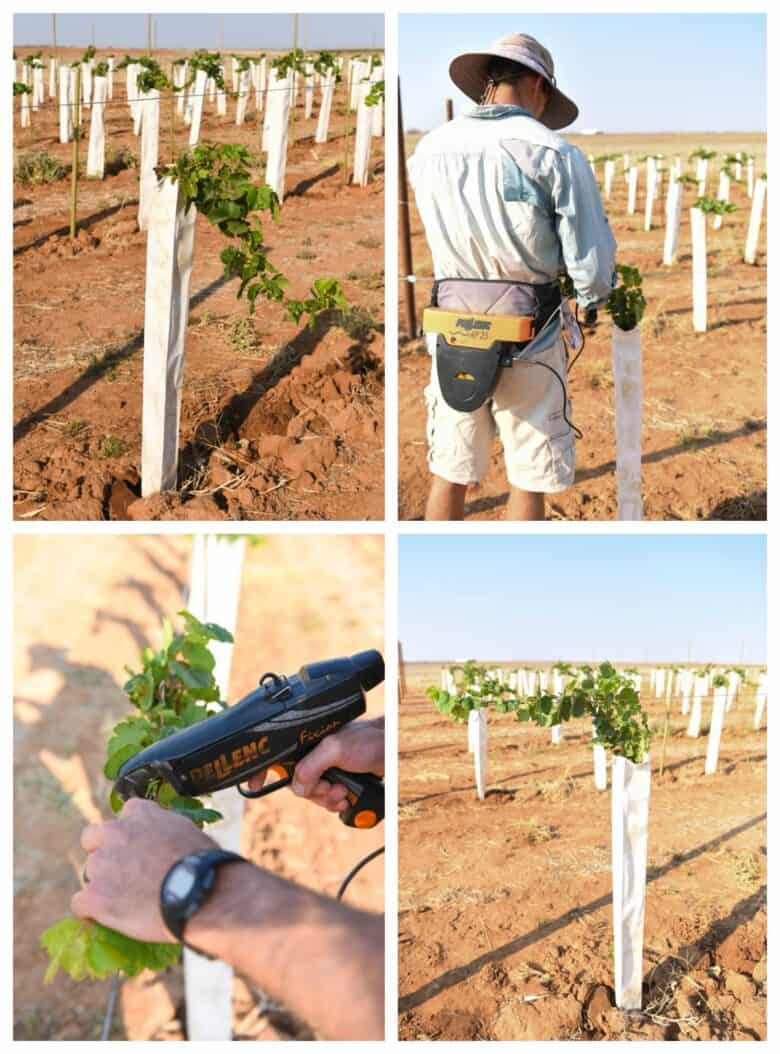 Vermentino Trellis - Collage of vines before, after and during tie-ing on.