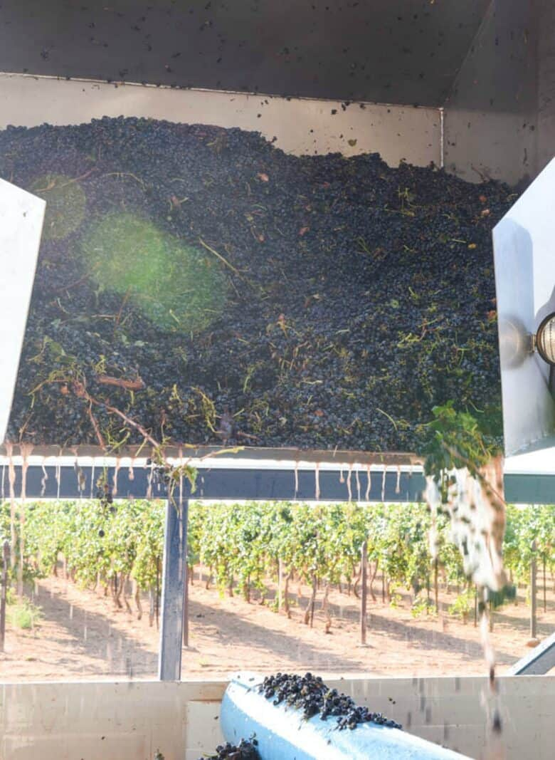 Grapes in dump buggy