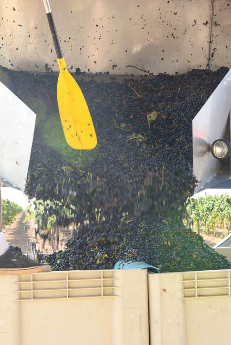 Grapes pouring out of dump buggy, close up