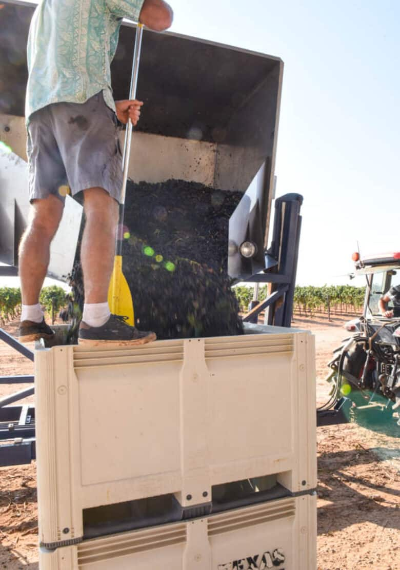 Pouring grapes into bins