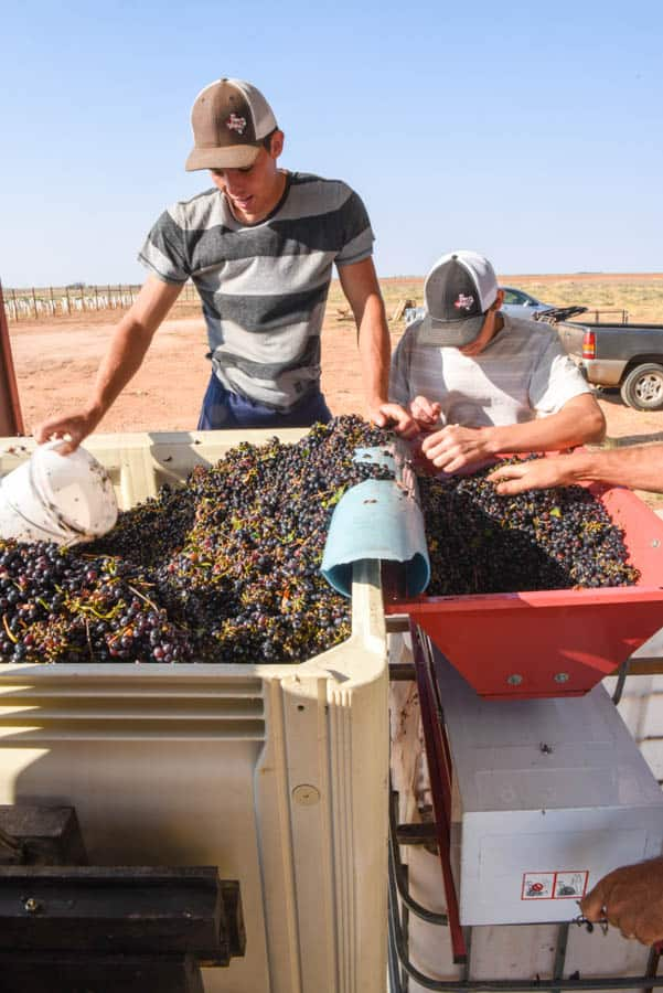 Crushing Montepulciano Grapes - Grapes in the bin and crusher.