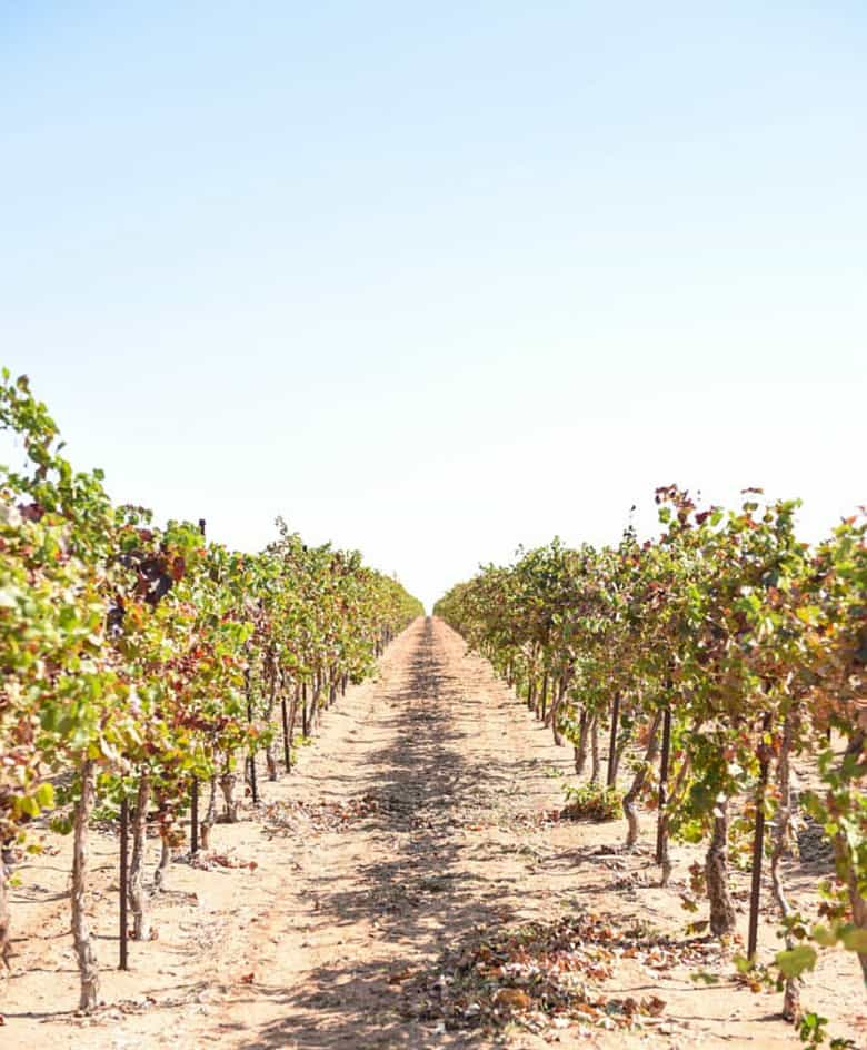 Fall Vineyard - Looking down a row of grape vines which have some multi colored leaves.