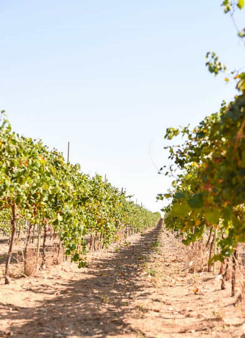 Fall Vineyard - Looking down a row of vines from a lower vantage point.