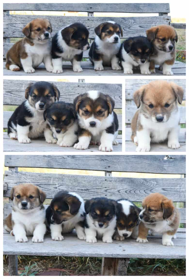 First Time Corgipoo Mom - Jingles' puppies sitting on a bench