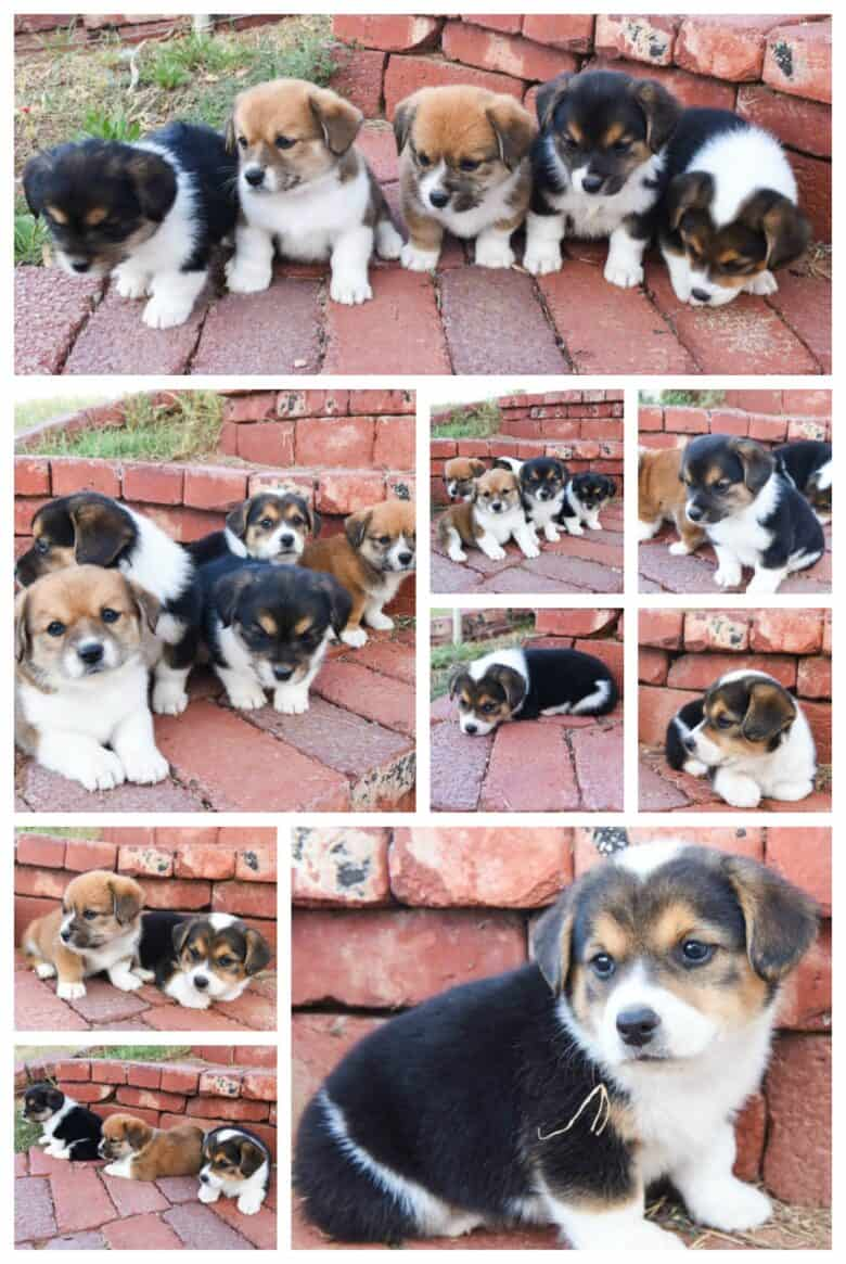 First Time Corgipoo Mom - A collage of pictures of Jingles' puppies sitting on brick steps.