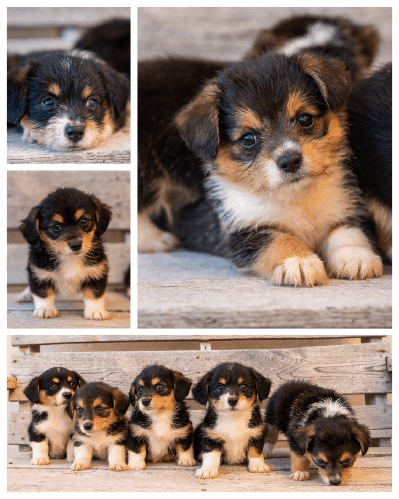 Flopsy's 1st Corgipoo Litter - collage of 5 wk old puppies sitting/laying down.