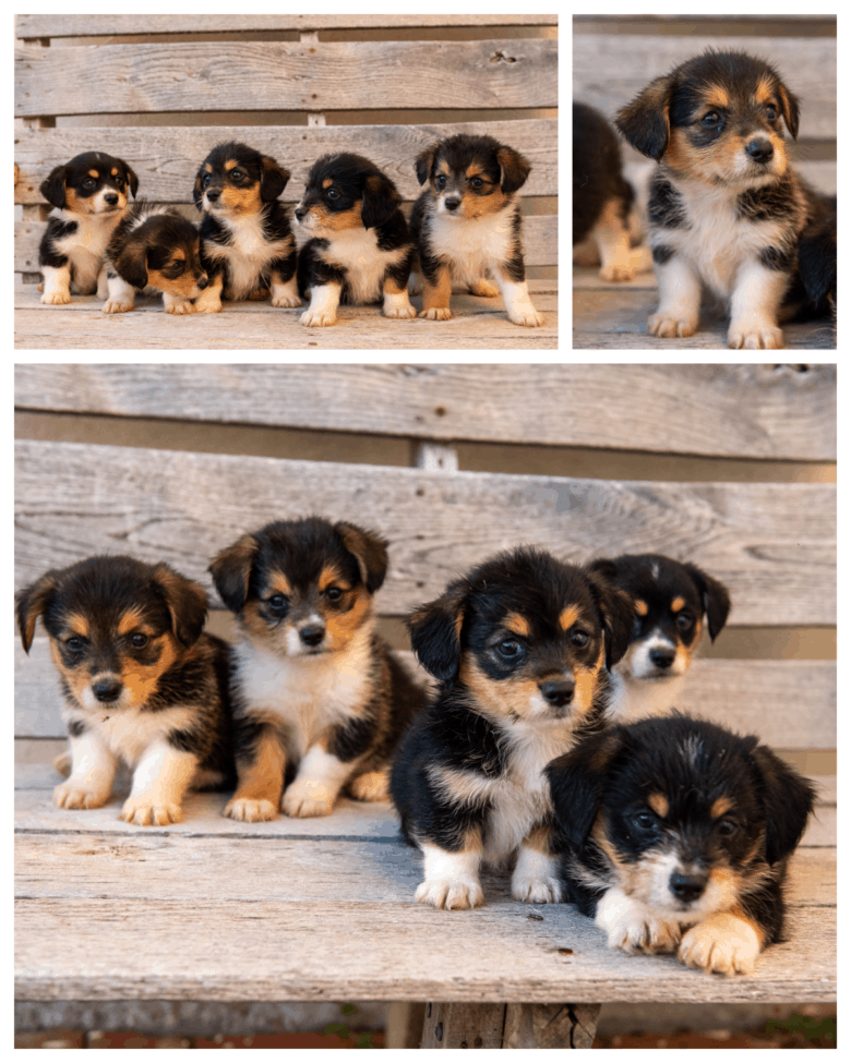Flopsy's 1st Corgipoo Litter - collage of 5 wk old puppies sitting and standing.