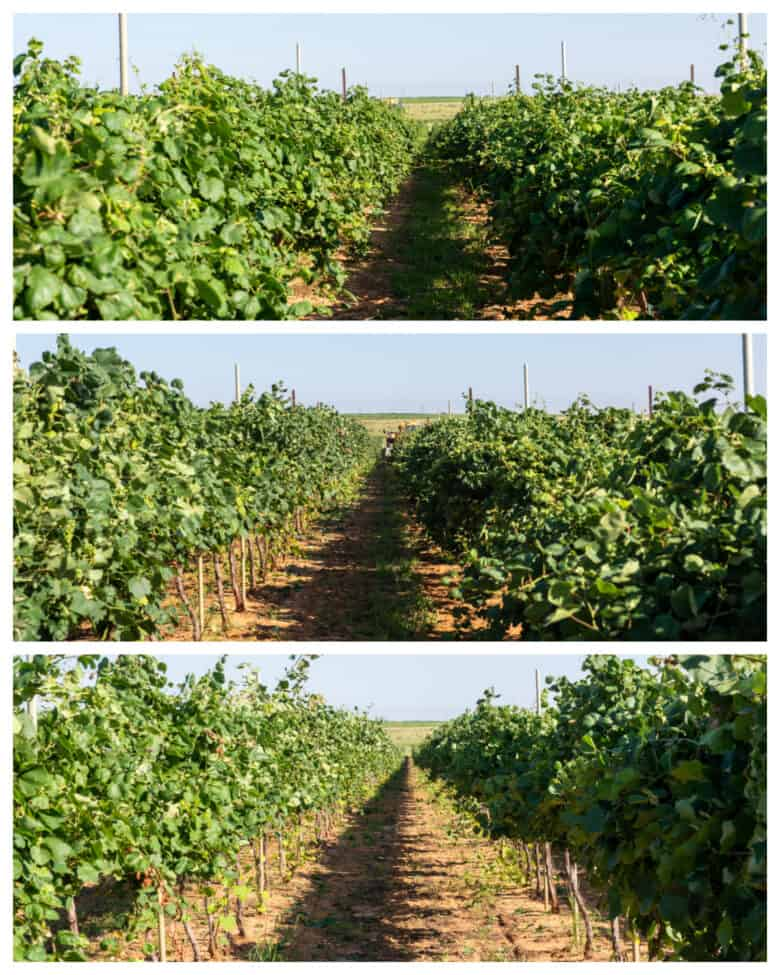 Wire Raising - Before, during and after the vines have been lifted.