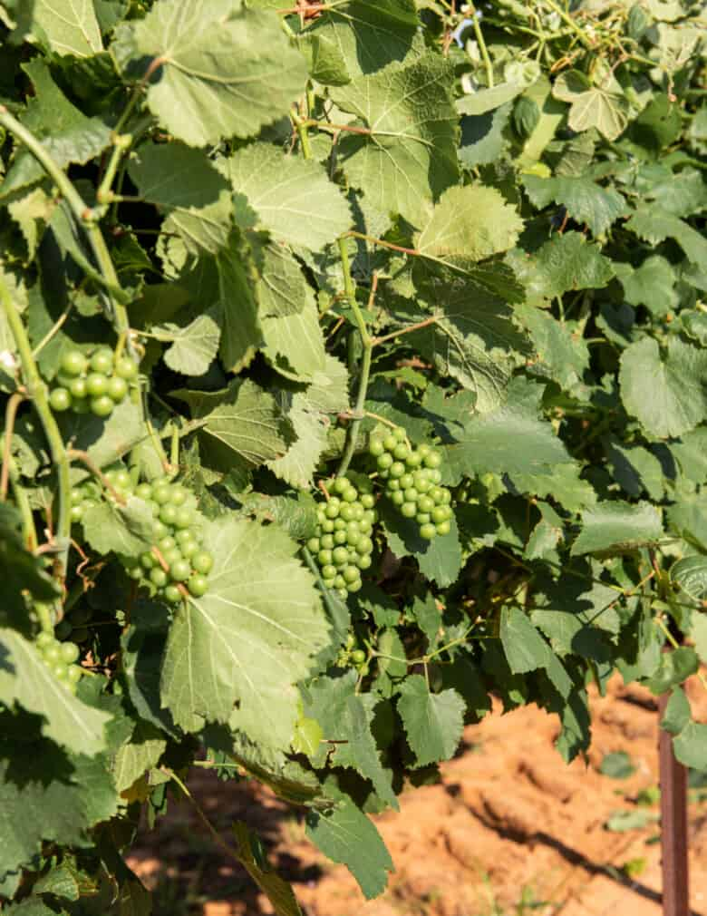 Wire Raising - Exposed grapes after shoots are lifted.
